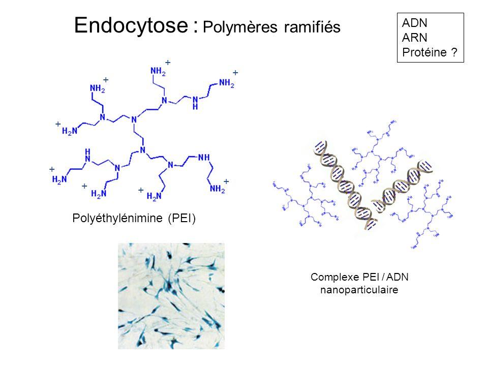 Endocytose : Polymères ramifiés ADN ARN Protéine