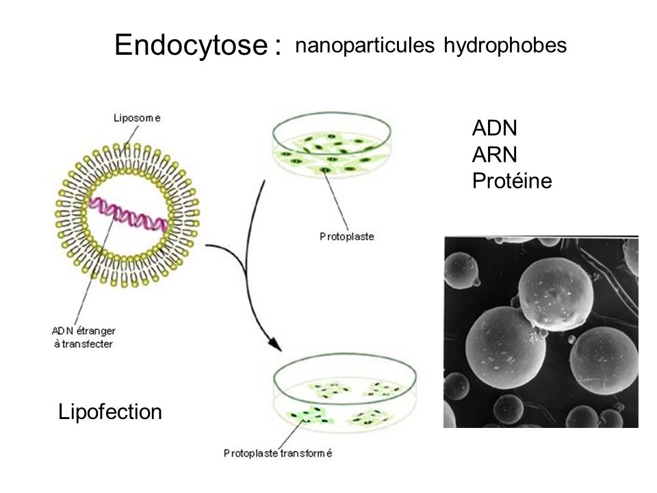 Endocytose : nanoparticules hydrophobes ADN ARN Protéine Lipofection