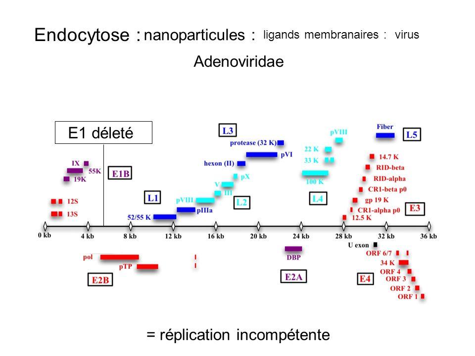 Endocytose : nanoparticules : Adenoviridae E1 déleté