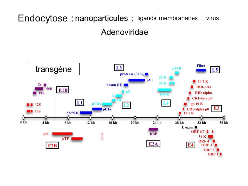 Endocytose : nanoparticules : Adenoviridae transgène