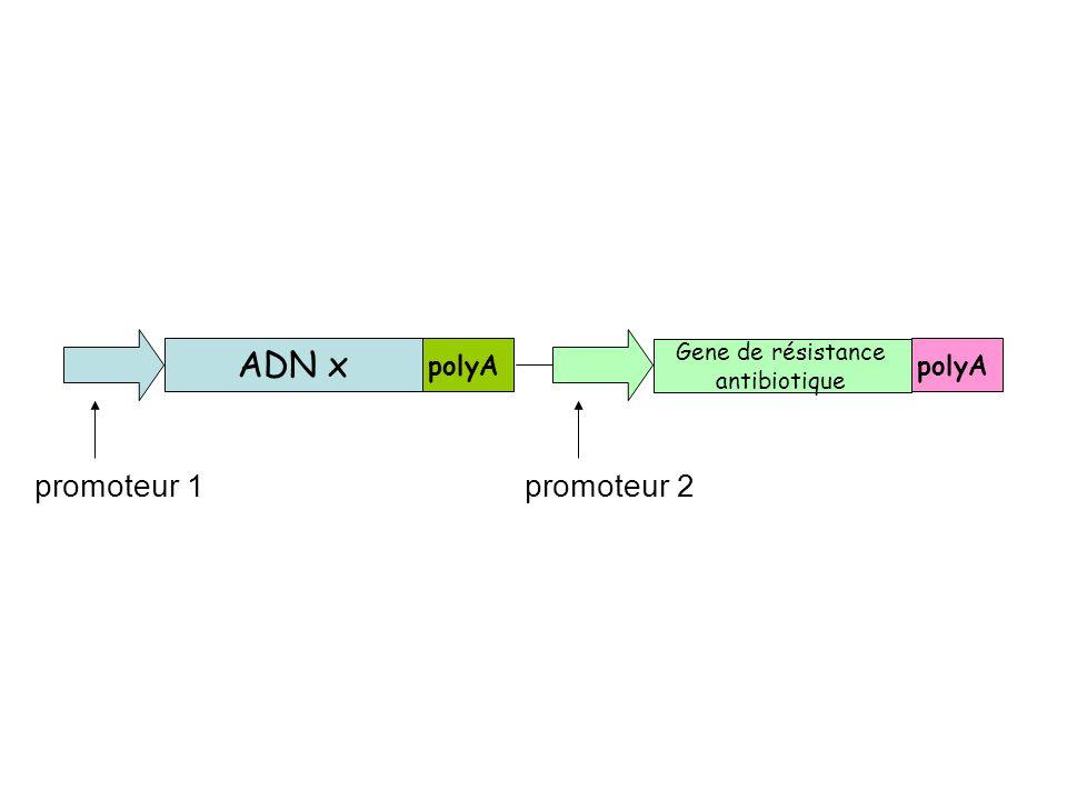 ADN x polyA Gene de résistance antibiotique promoteur 1 promoteur 2