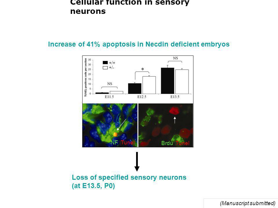 Cellular function in sensory neurons