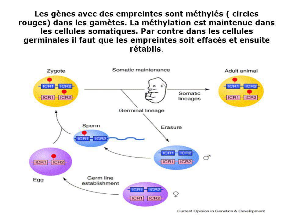 Les gènes avec des empreintes sont méthylés ( circles rouges) dans les gamètes.