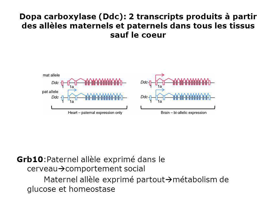 Dopa carboxylase (Ddc): 2 transcripts produits à partir des allèles maternels et paternels dans tous les tissus sauf le coeur