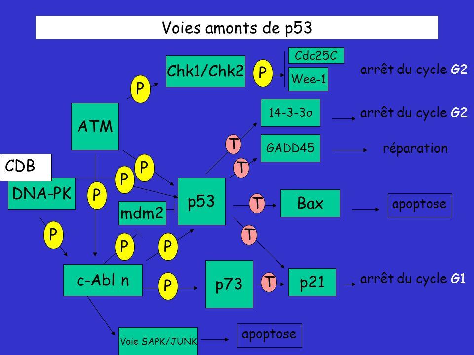 Voies amonts de p53 Chk1/Chk2 P P ATM T CDB P T P DNA-PK p53 P Bax T