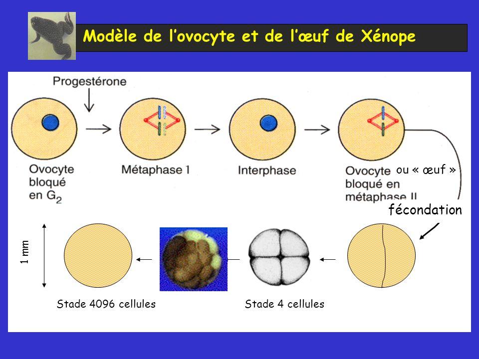 Modèle de l'ovocyte et de l'œuf de Xénope