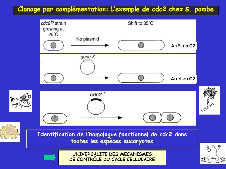 Clonage par complémentation: L'exemple de cdc2 chez S. pombe