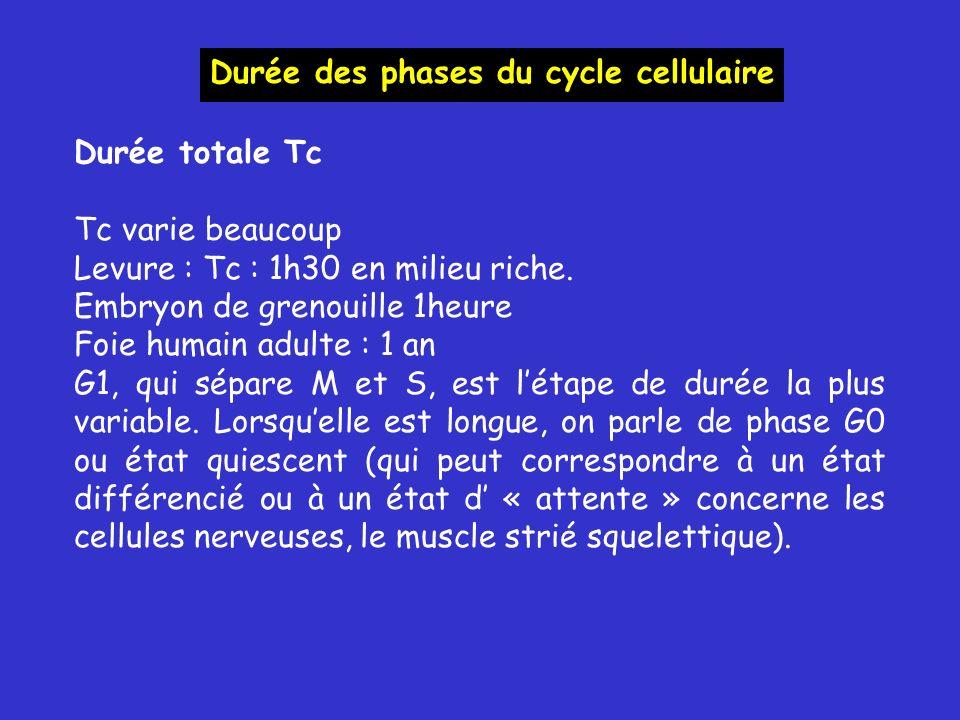Durée des phases du cycle cellulaire