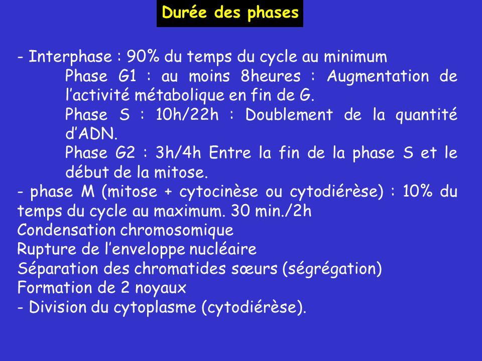 Durée des phases - Interphase : 90% du temps du cycle au minimum. Phase G1 : au moins 8heures : Augmentation de l'activité métabolique en fin de G.