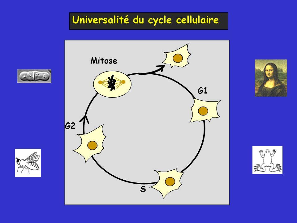 Universalité du cycle cellulaire