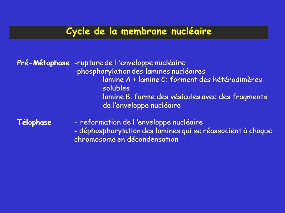 Cycle de la membrane nucléaire
