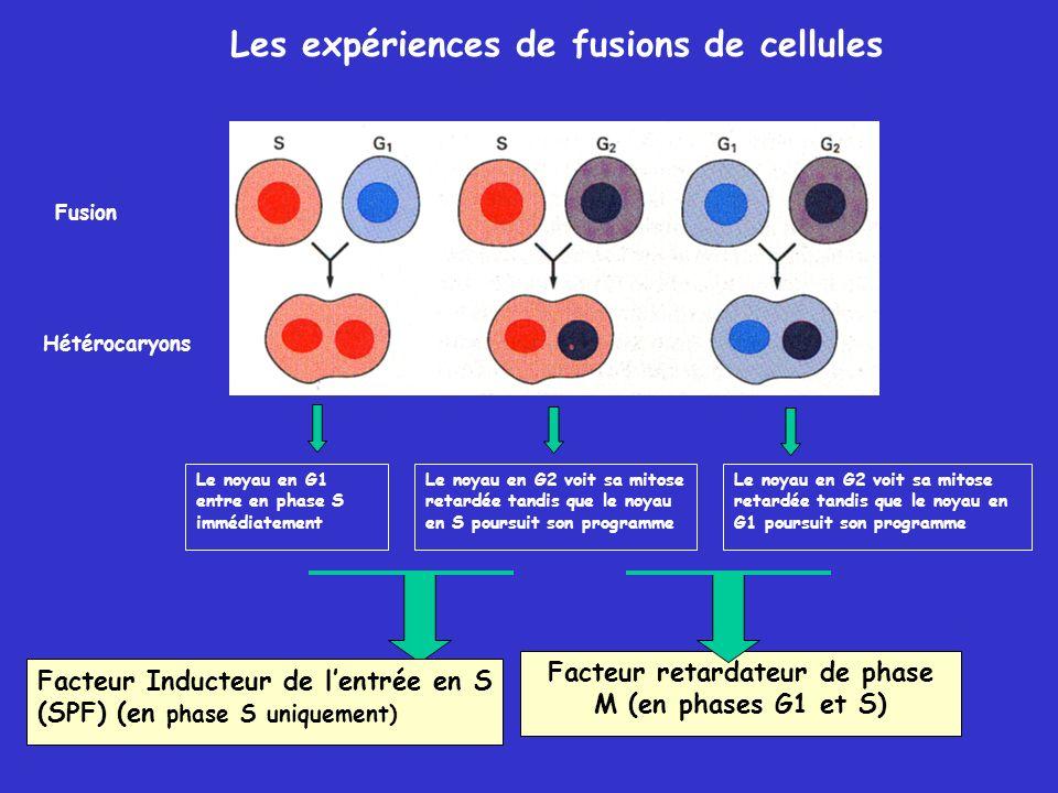 Facteur retardateur de phase M (en phases G1 et S)