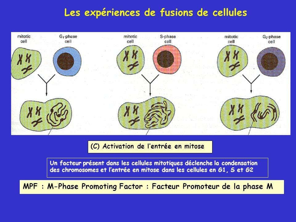 Les expériences de fusions de cellules