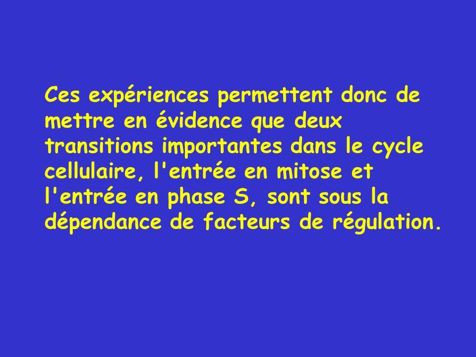 Ces expériences permettent donc de mettre en évidence que deux transitions importantes dans le cycle cellulaire, l entrée en mitose et l entrée en phase S, sont sous la dépendance de facteurs de régulation.