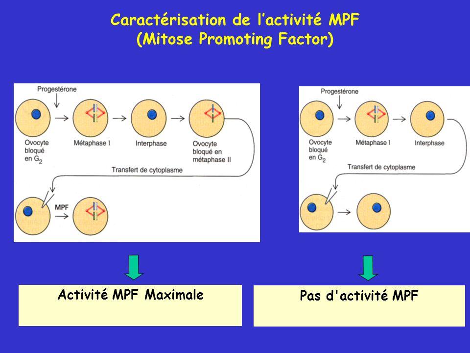 Caractérisation de l'activité MPF (Mitose Promoting Factor)
