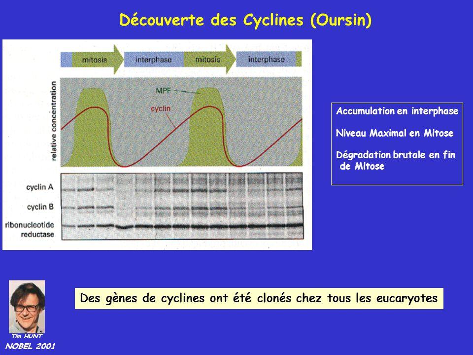 Découverte des Cyclines (Oursin)