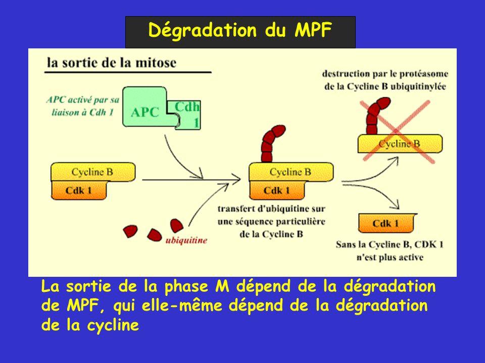 Dégradation du MPF La sortie de la phase M dépend de la dégradation de MPF, qui elle-même dépend de la dégradation de la cycline.