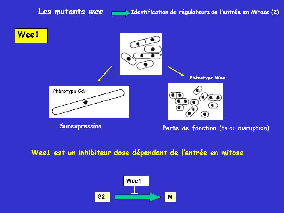Les mutants wee Identification de régulateurs de l'entrée en Mitose (2) Wee1. Phénotype Wee. Phénotype Cdc.