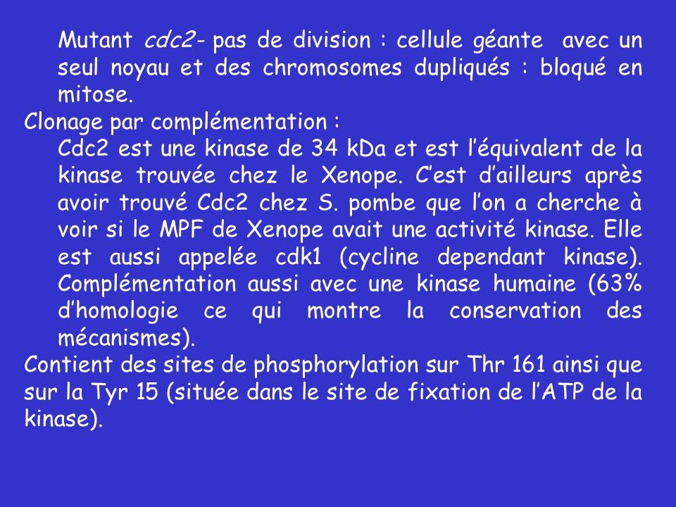 Mutant cdc2- pas de division : cellule géante avec un seul noyau et des chromosomes dupliqués : bloqué en mitose.