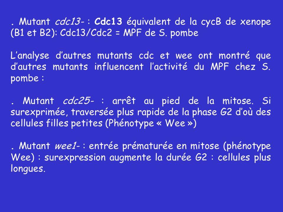 . Mutant cdc13- : Cdc13 équivalent de la cycB de xenope (B1 et B2): Cdc13/Cdc2 = MPF de S. pombe