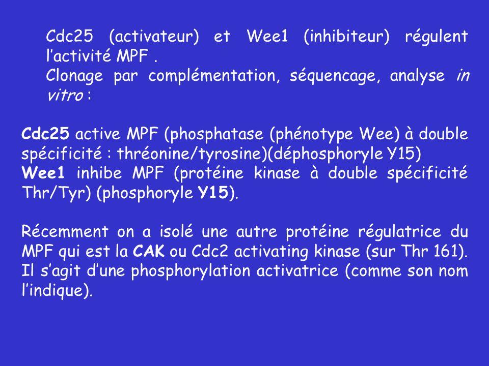 Cdc25 (activateur) et Wee1 (inhibiteur) régulent l'activité MPF .