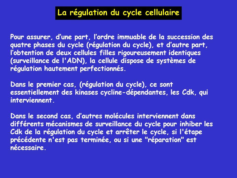 La régulation du cycle cellulaire