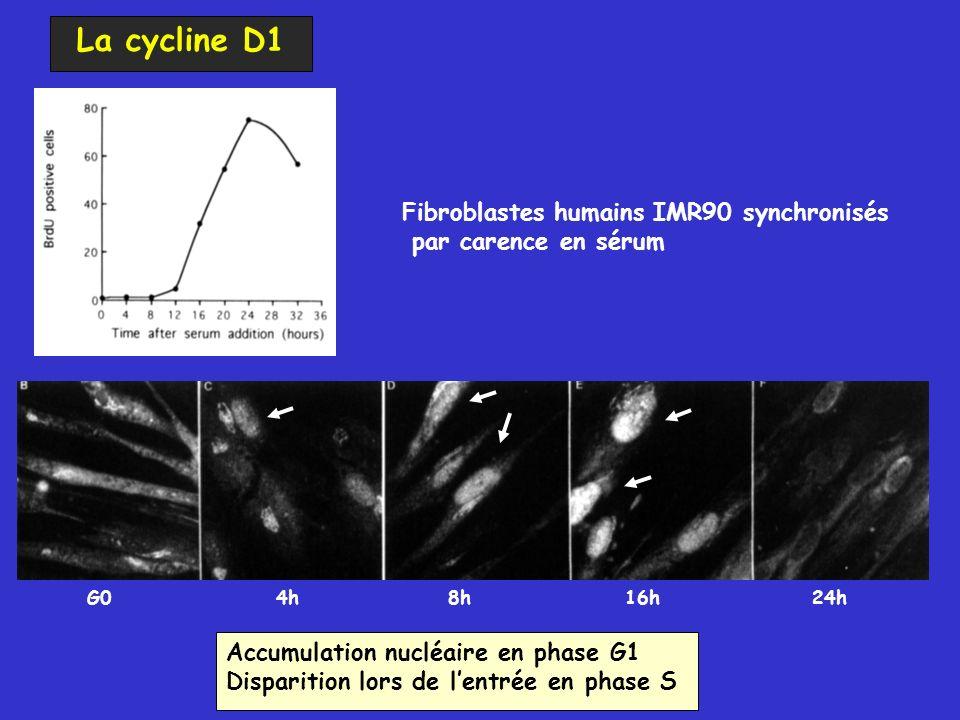 La cycline D1 Fibroblastes humains IMR90 synchronisés