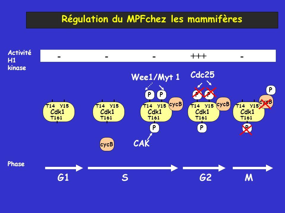 Régulation du MPFchez les mammifères