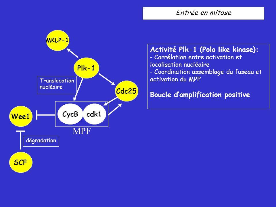 MPF Entrée en mitose Activité Plk-1 (Polo like kinase):