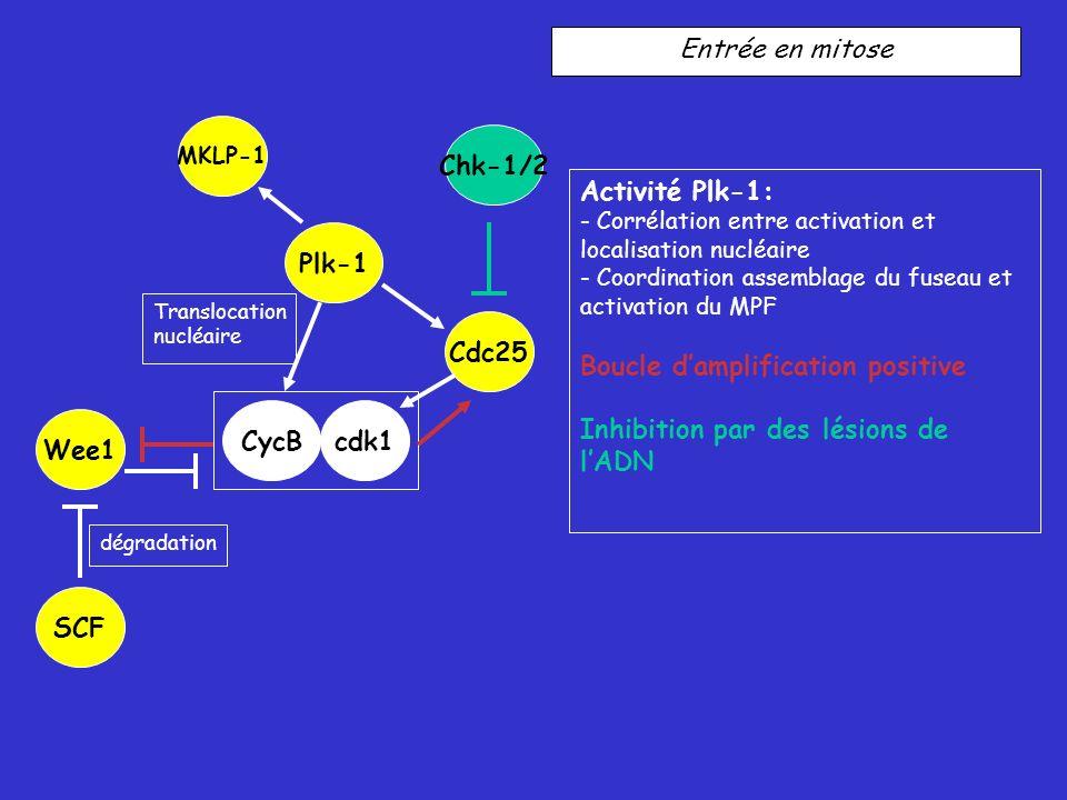 Chk-1/2 Plk-1 Cdc25 CycB cdk1 Wee1 SCF