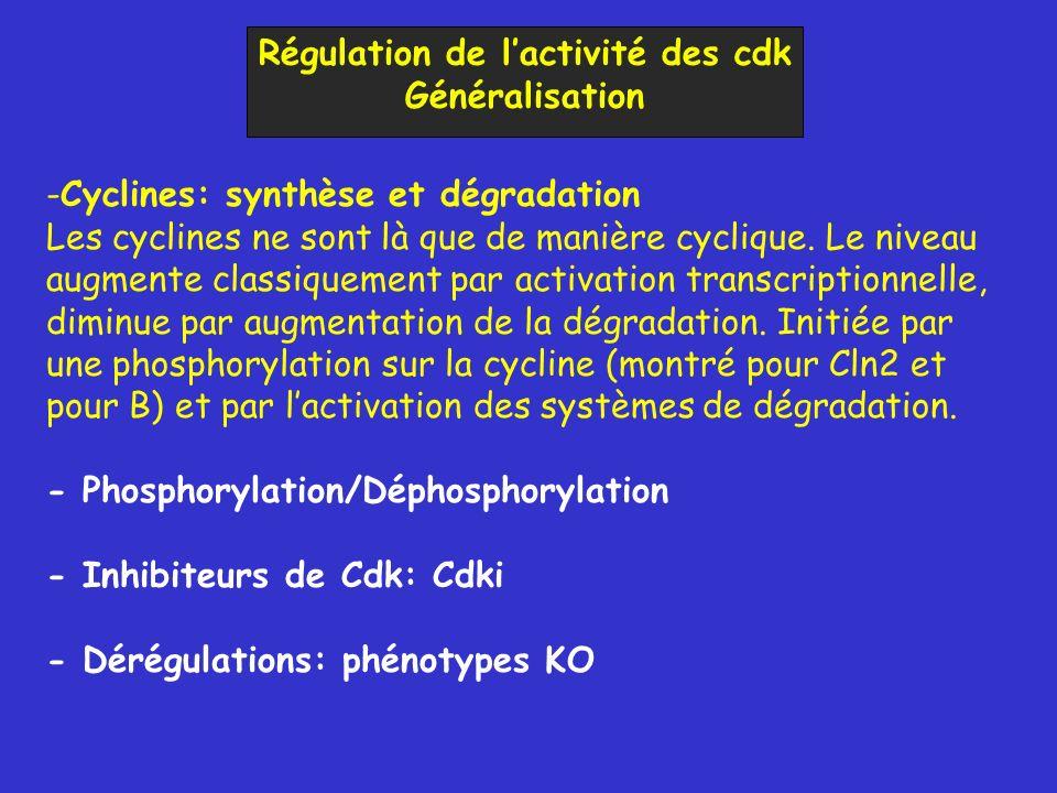 Régulation de l'activité des cdk