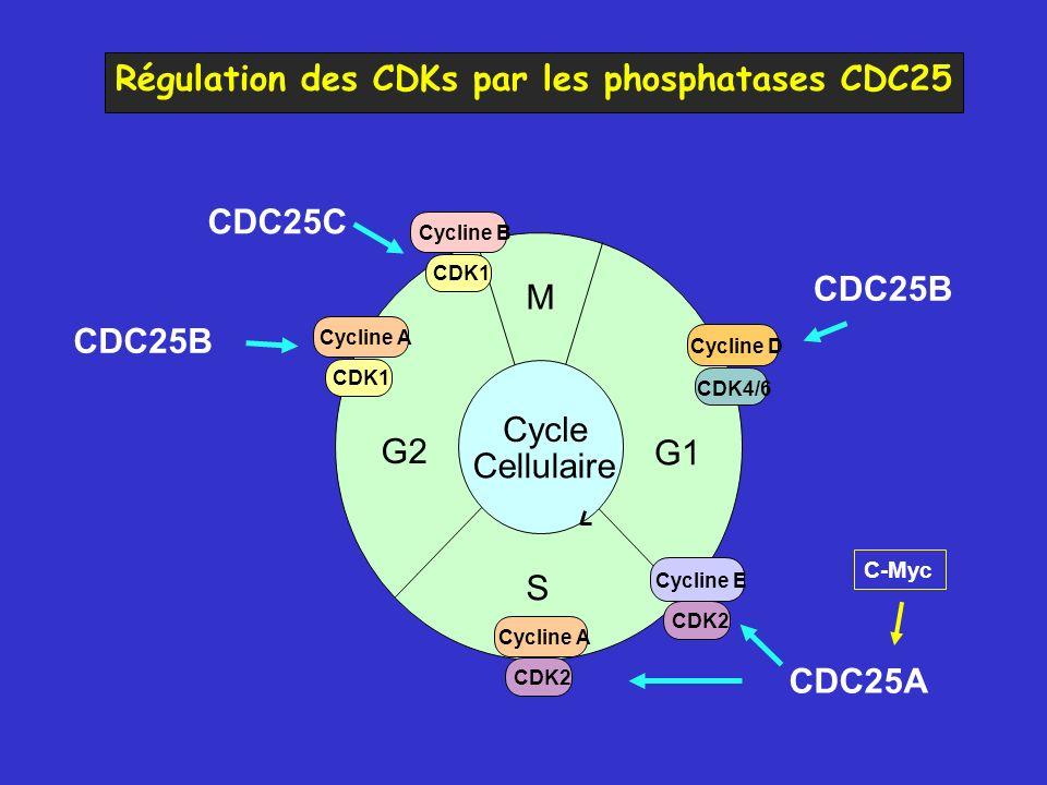 Régulation des CDKs par les phosphatases CDC25