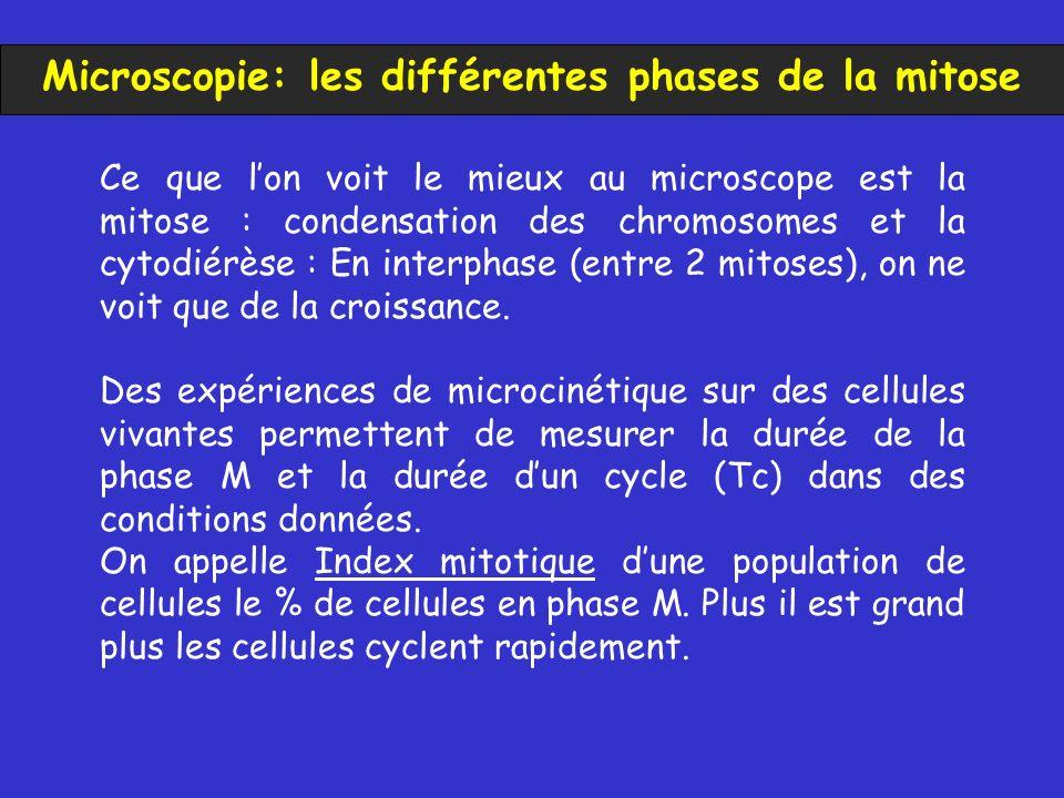 Microscopie: les différentes phases de la mitose