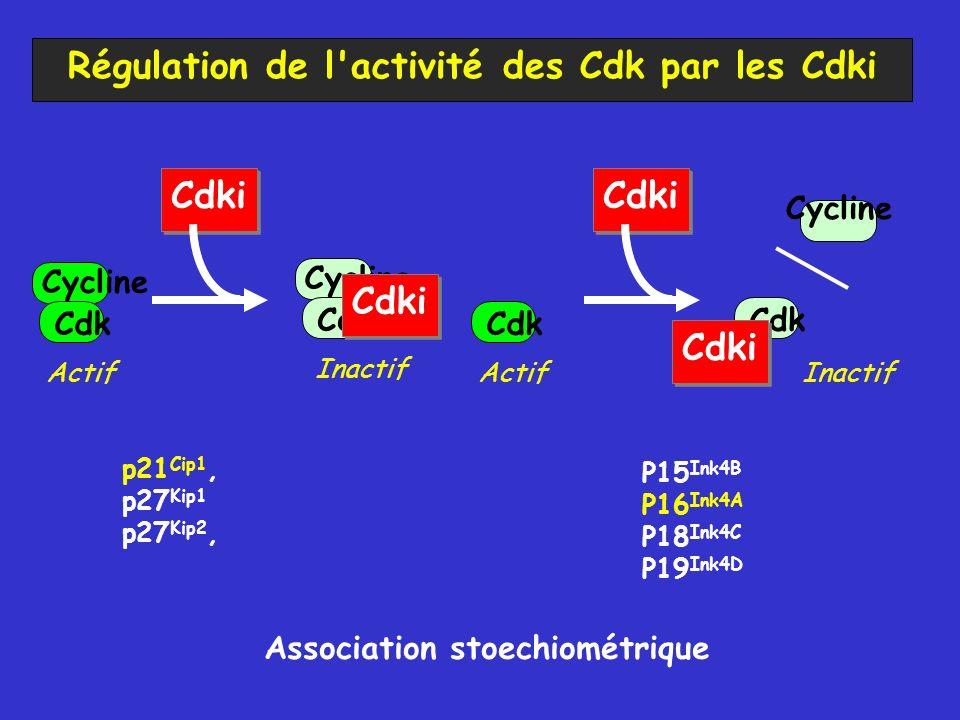 Régulation de l activité des Cdk par les Cdki