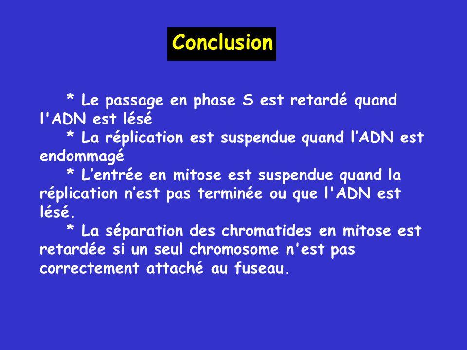 Conclusion * Le passage en phase S est retardé quand l ADN est lésé