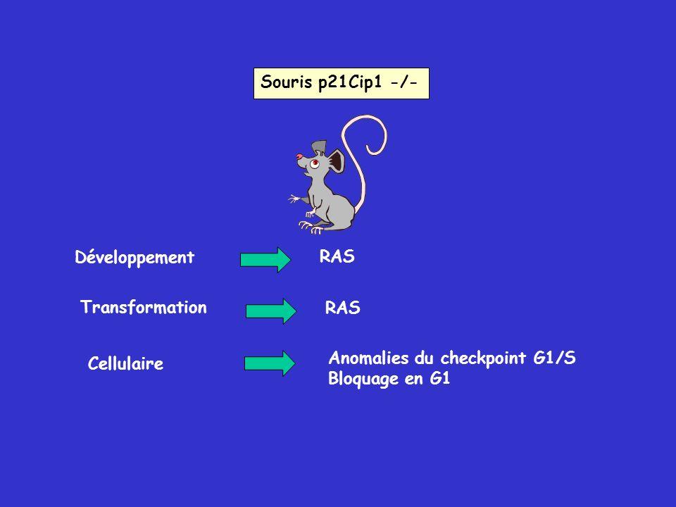 Souris p21Cip1 -/- Développement. RAS. Transformation. RAS. Anomalies du checkpoint G1/S. Bloquage en G1.