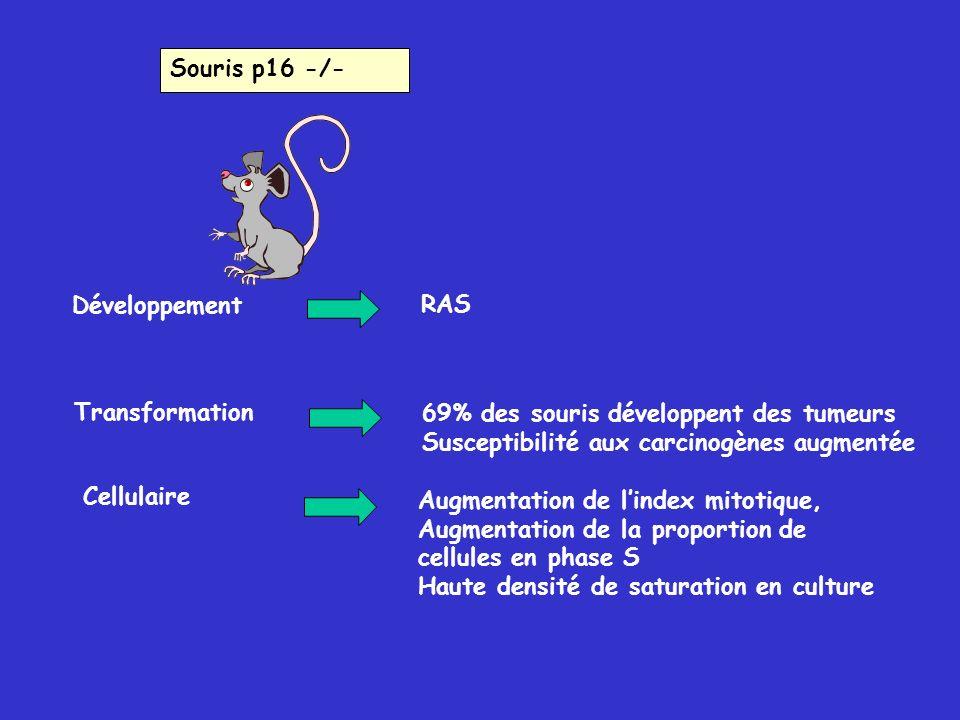 Souris p16 -/- Développement. RAS. Transformation. 69% des souris développent des tumeurs. Susceptibilité aux carcinogènes augmentée.