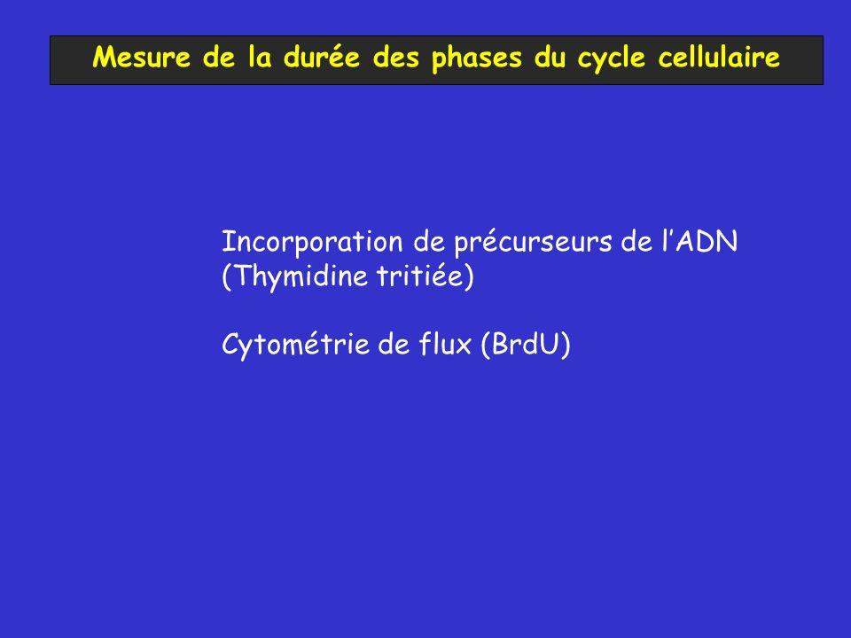 Mesure de la durée des phases du cycle cellulaire