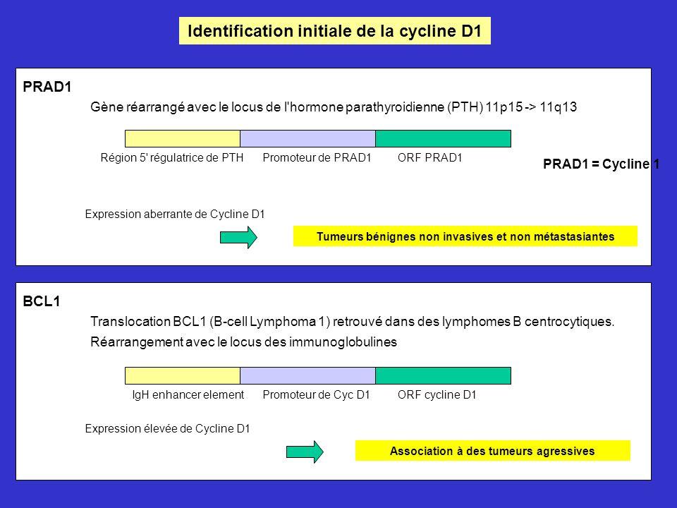 Identification initiale de la cycline D1