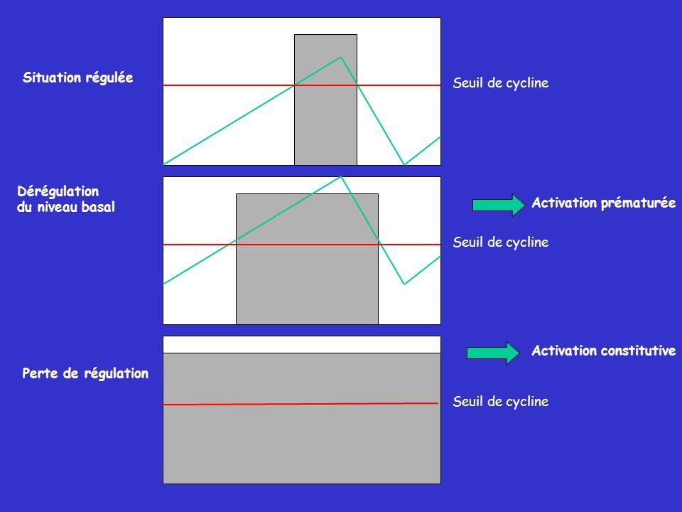 Situation régulée Seuil de cycline. Dérégulation. du niveau basal. Activation prématurée. Seuil de cycline.