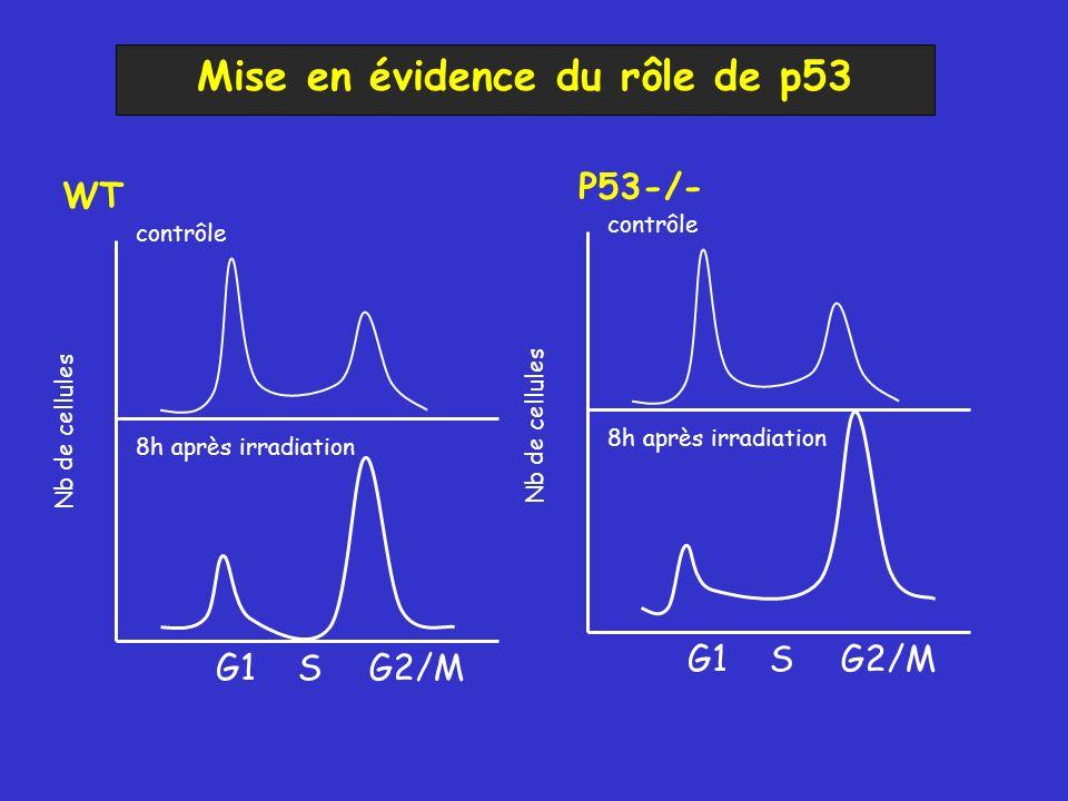 Mise en évidence du rôle de p53