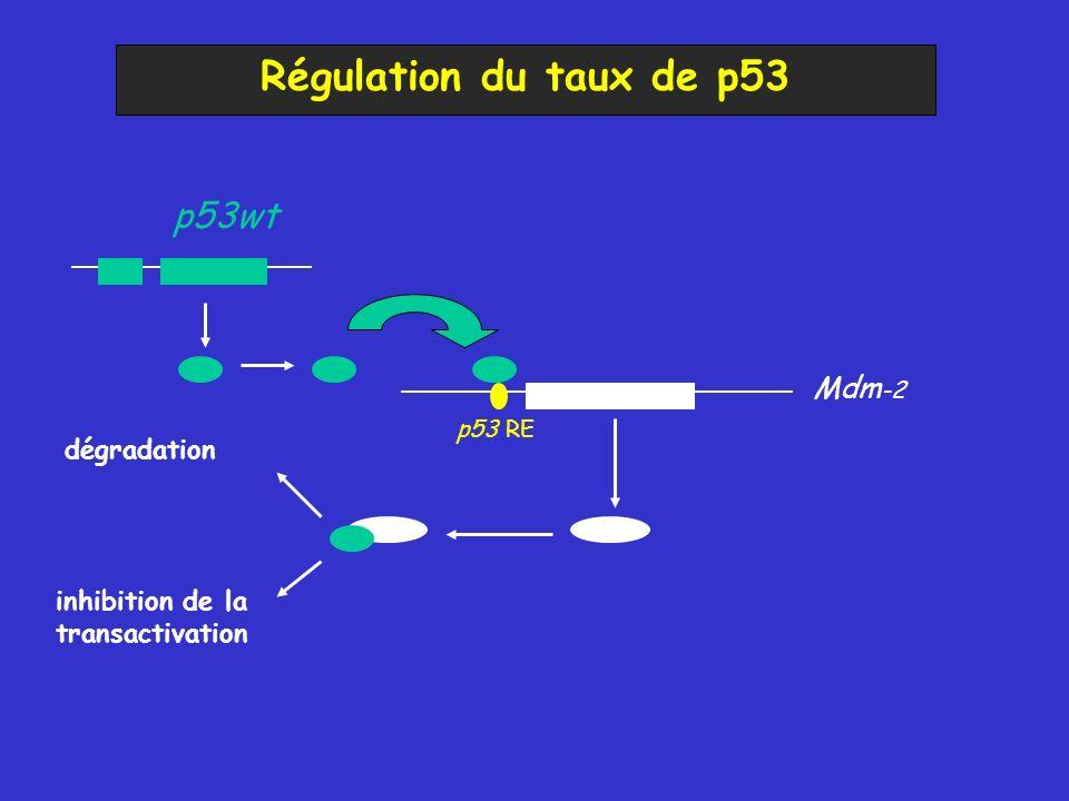 Régulation du taux de p53 p53wt Mdm-2 dégradation