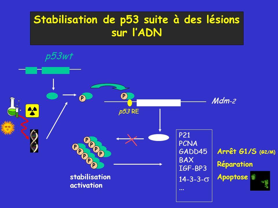 Stabilisation de p53 suite à des lésions sur l'ADN