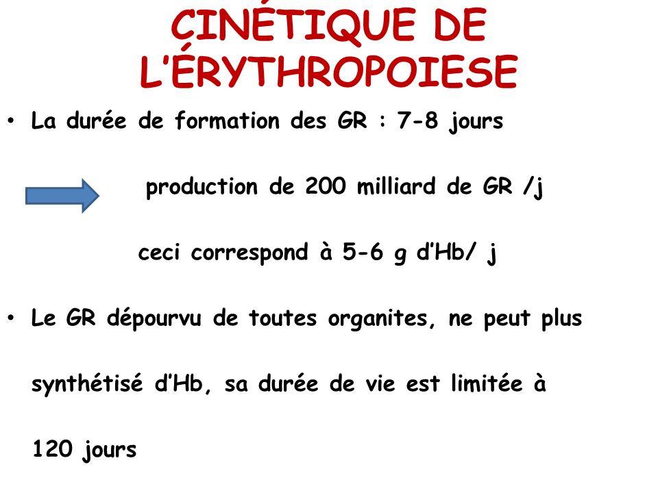 CINÉTIQUE DE L'ÉRYTHROPOIESE