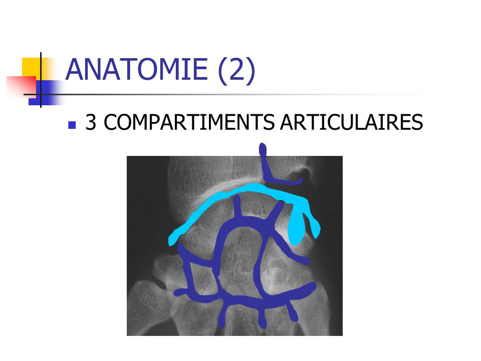 ANATOMIE (2) 3 COMPARTIMENTS ARTICULAIRES