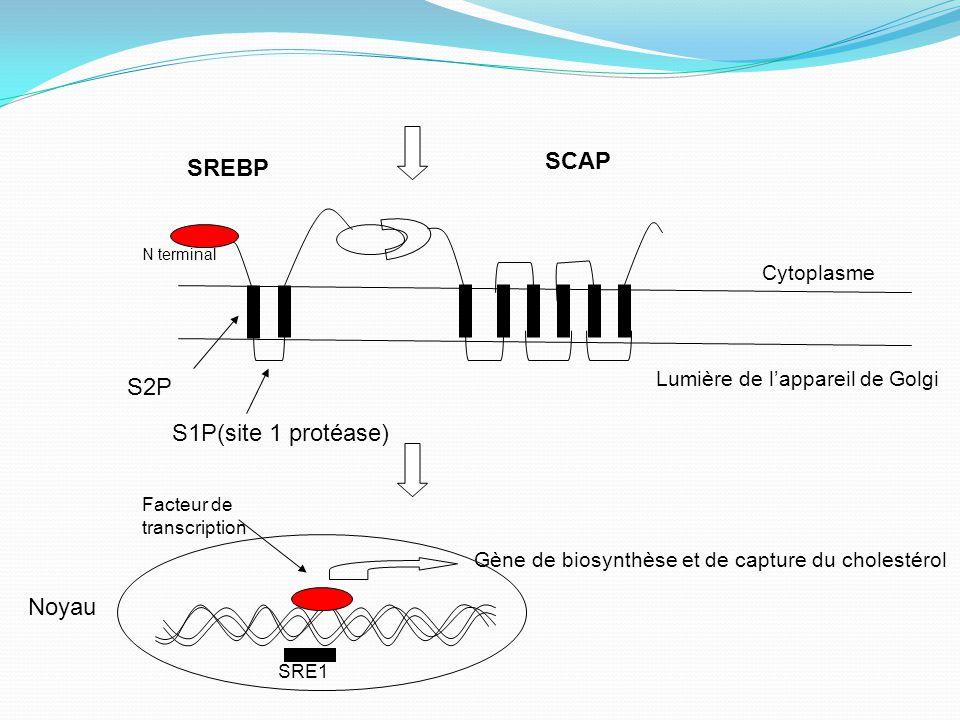 SCAP SREBP S2P S1P(site 1 protéase) Noyau Cytoplasme