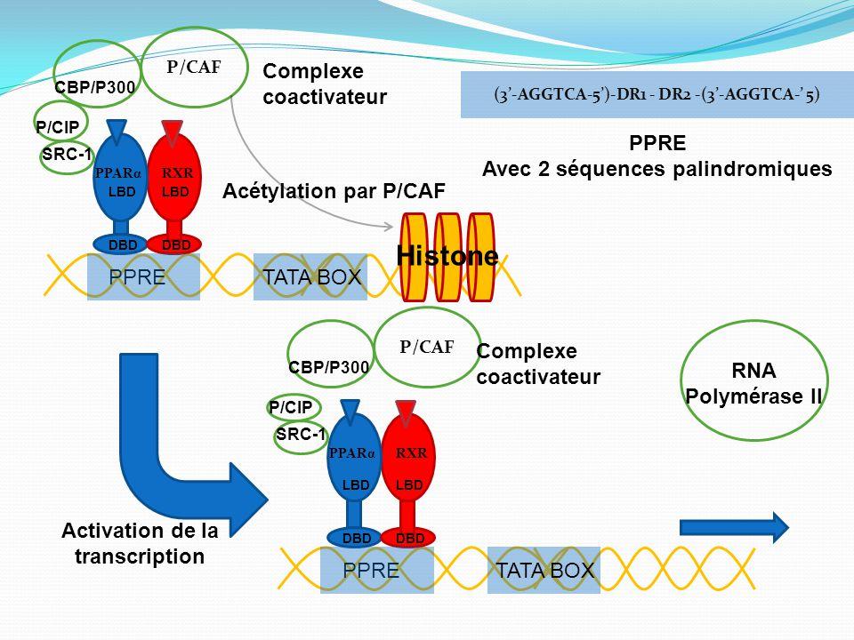 Histone Complexe coactivateur PPRE Avec 2 séquences palindromiques