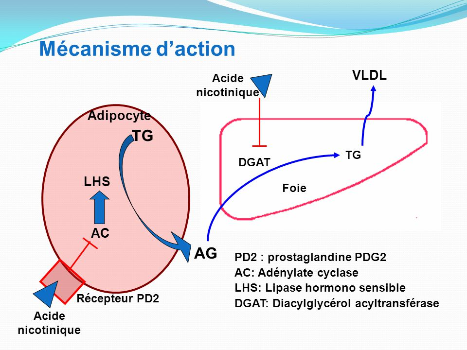 Mécanisme d'action TG AG VLDL Adipocyte LHS AC Acide nicotinique TG