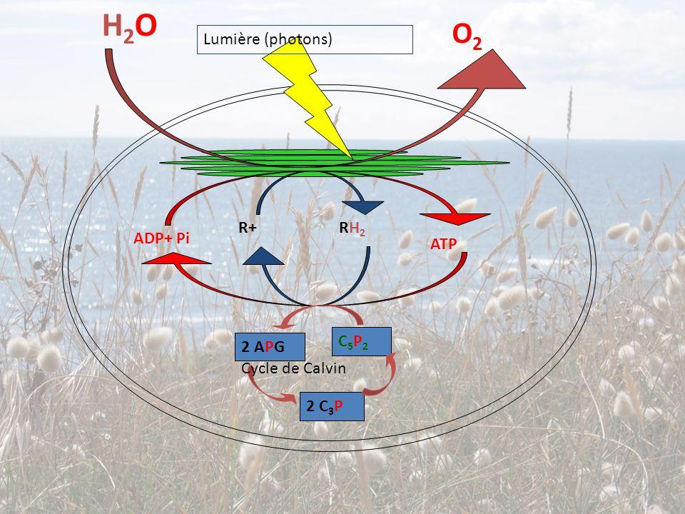 H2O O2 Lumière (photons) R+ RH2 ADP+ Pi ATP C5P2 2 APG Cycle de Calvin