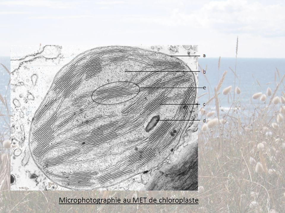 Microphotographie au MET de chloroplaste